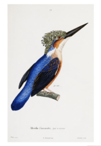 Malagasy Kingfisher – Dagens poster