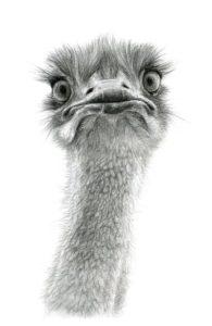 Cute Ostrich – Dagens Poster