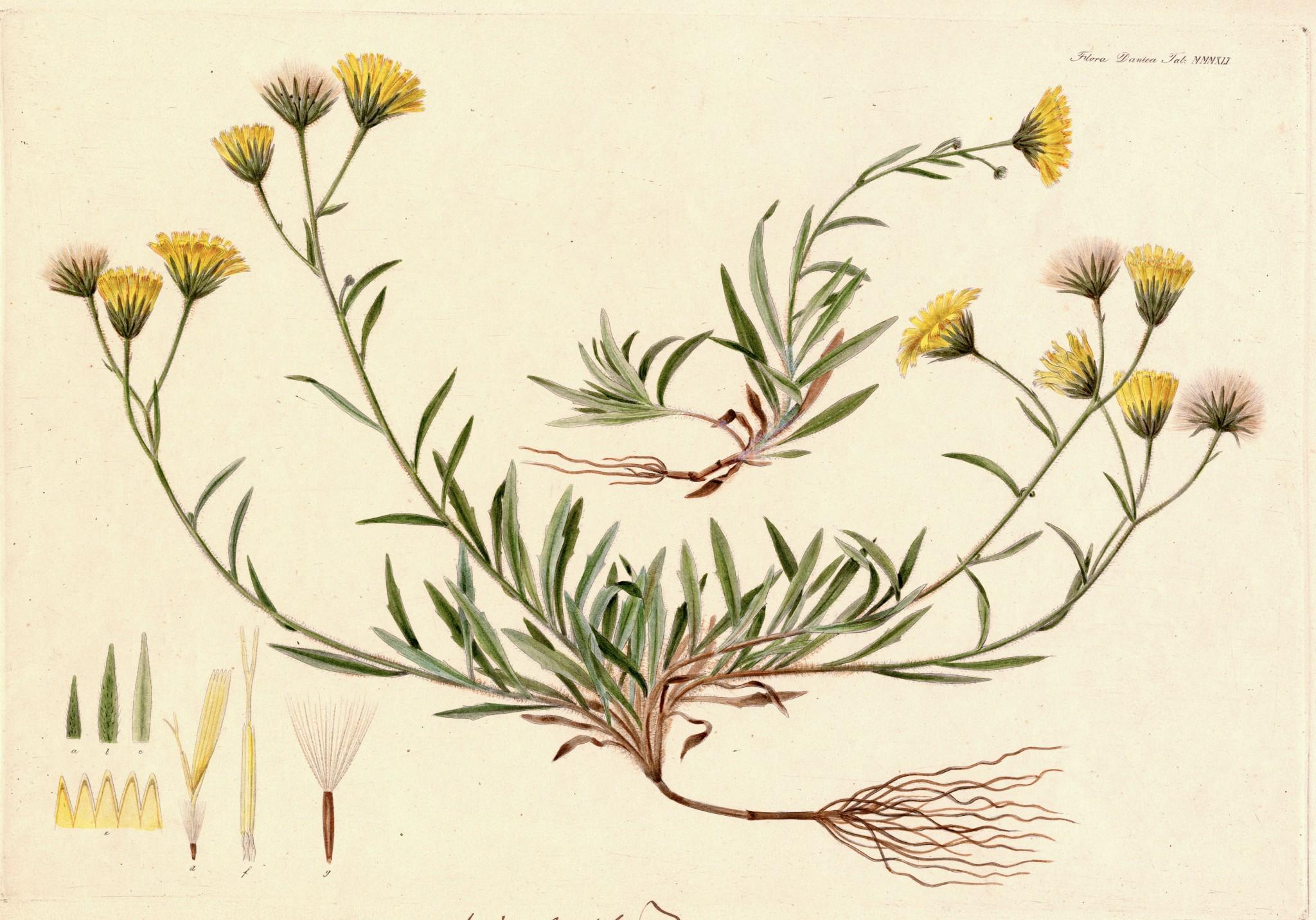 hoegeurt-flora-danica-statens-naturhistoriske-museum-boligcious-maria-fynsk-norup-kunst-videnskab