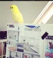 office-bird-fugl-bird-interior-undulat-kanariefugl-bolig-indretning