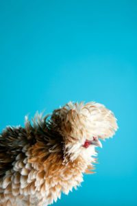 mitch_payne_poultry4_poster-art-photgraphy-print