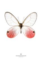 Sommerfugl – Dagens Poster