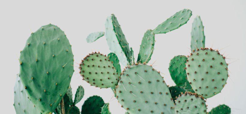 kaktus-kaktusser-1